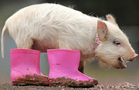 A pig wearing pink boots