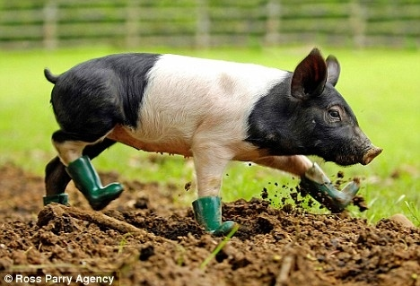 A pig wearing green boots