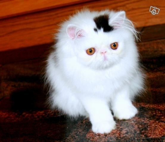 A cat with a permanent top hat