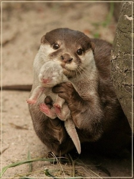 An otter showing you its baby
