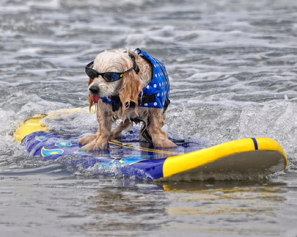 A surfing dog with sunglasses